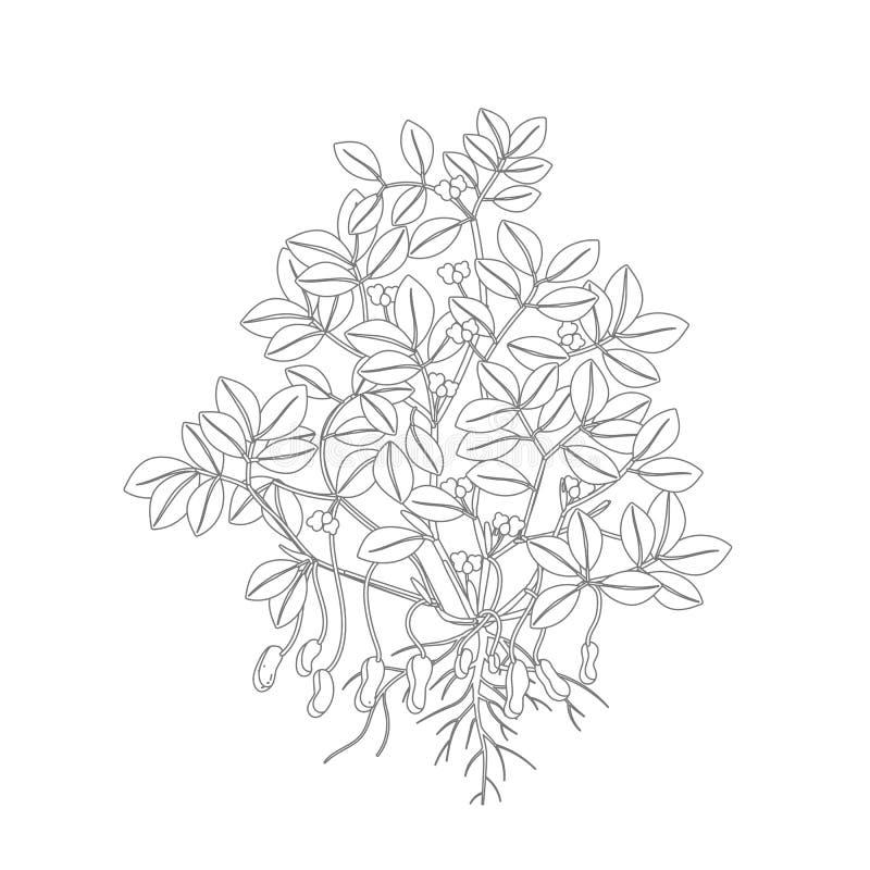 Arachidowa roślina Roślina z korzeniami, bulwa liście i kwiaty i Legumes dokrętka Kontur konturowa wektorowa ilustracja Arachis ilustracji