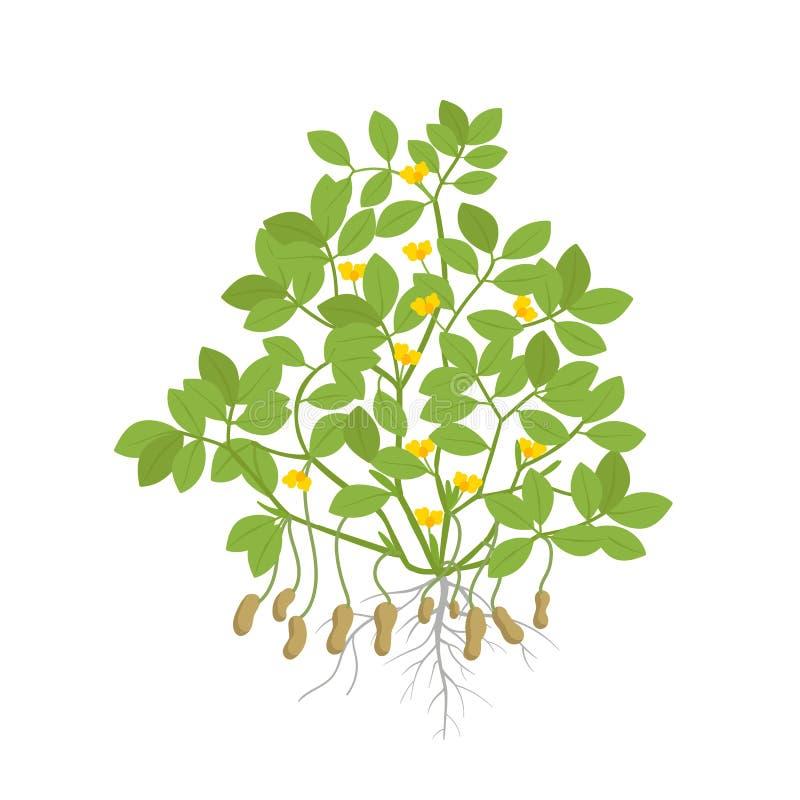 Arachidowa roślina Roślina z korzeniami, bulwa liście i kwiaty i Legumes dokrętka również zwrócić corel ilustracji wektora Arachi royalty ilustracja