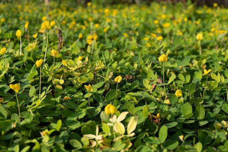 Arachis pintoi with morning sunlight stock image
