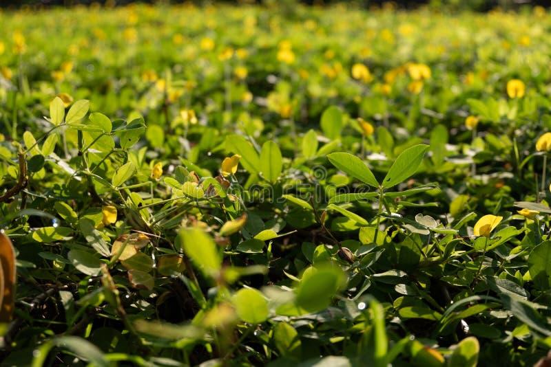 Arachis pintoi with morning sunlight stock photos