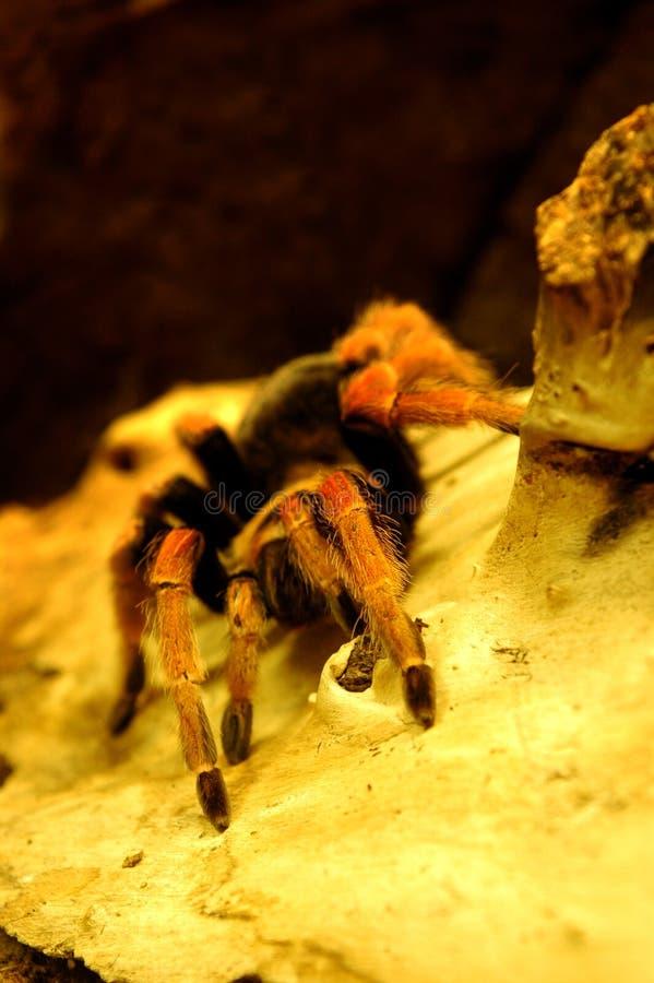 Arachnid, Spider Stock Image