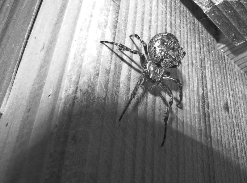 Arachnid, Spider, Black, Black And White stock photography