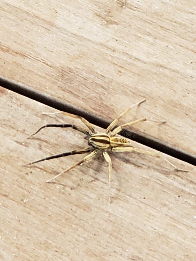 Arachnid - West Texas Wolf Spider stockfotografie