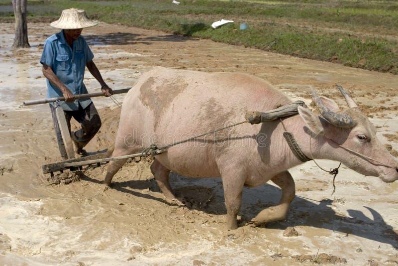 Arado con el búfalo de agua imágenes de archivo libres de regalías