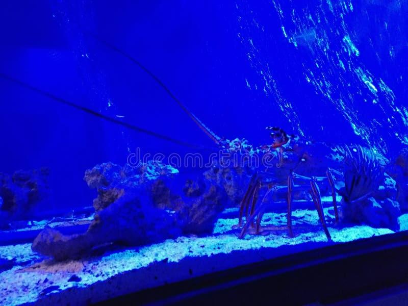 Aragosta in acquario fotografia stock libera da diritti