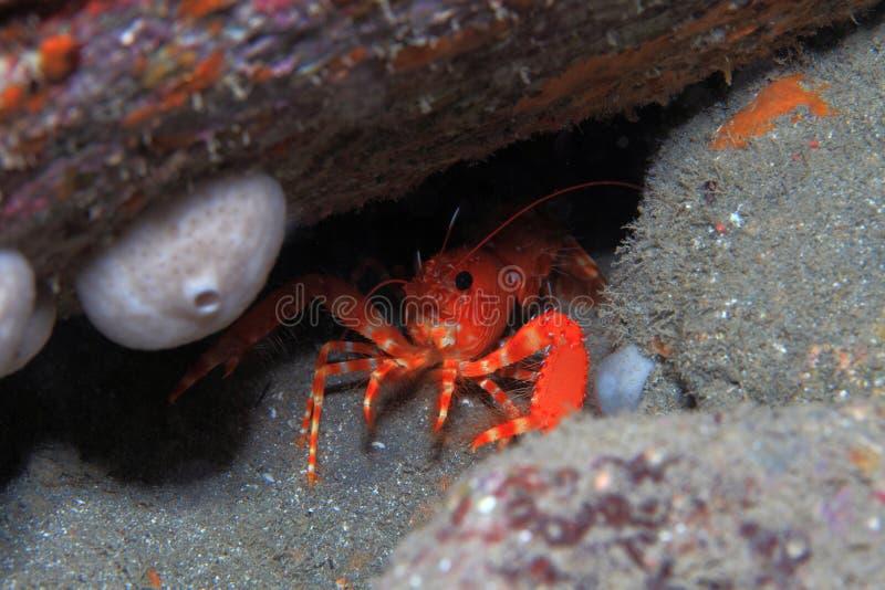 Aragosta atlantica della scogliera fotografie stock