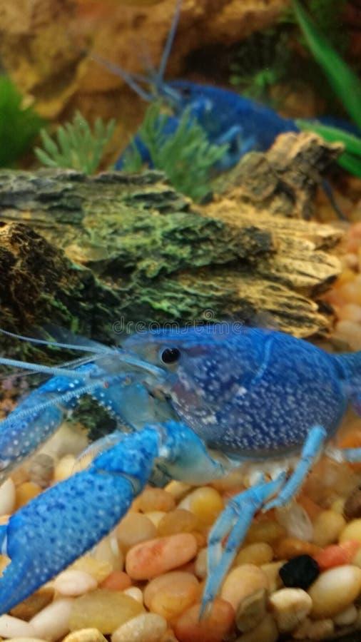 Aragosta blu immagine stock libera da diritti