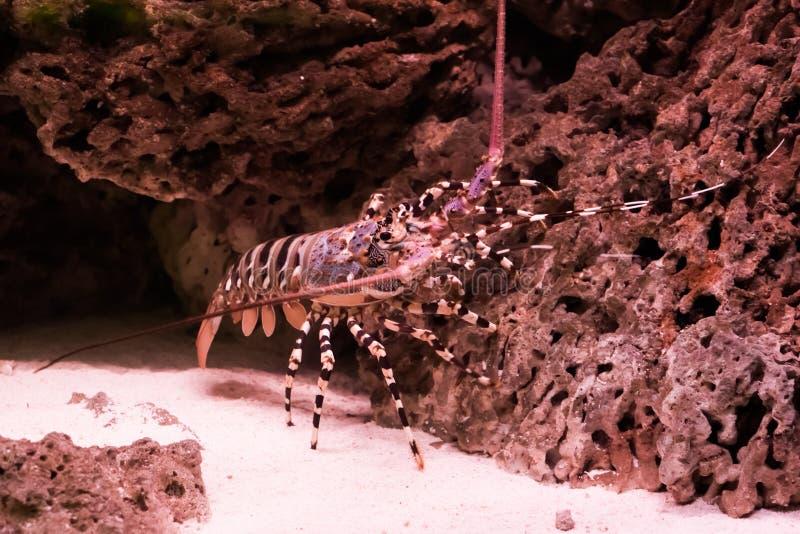 Aragosta coperta di spine decorata che scala su una pietra, un grande gambero tropicale dall'oceano Pacifico fotografia stock libera da diritti