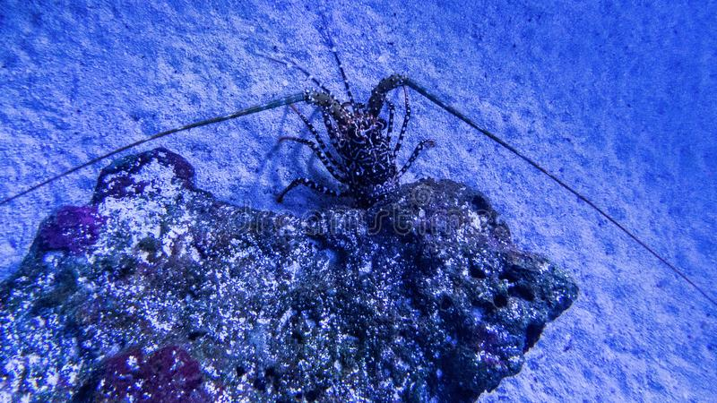 Aragosta nascondentesi sveglia con le coperture scure fotografia stock libera da diritti