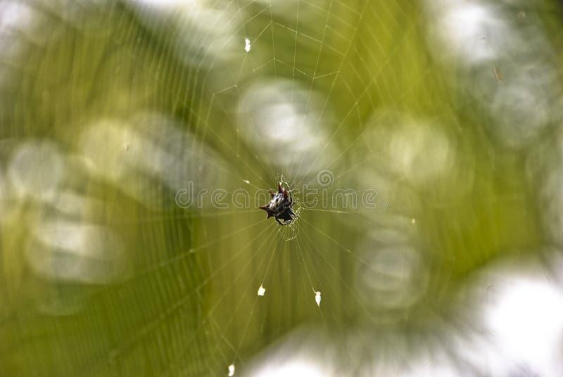 Araignée épineuse de Corps-Tisserand images libres de droits