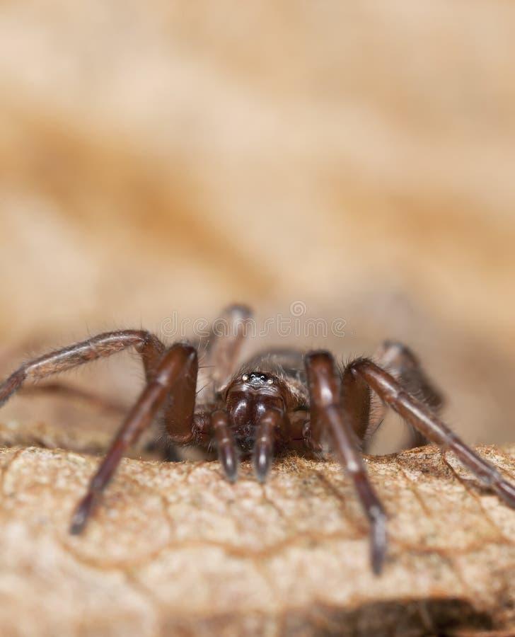 Araignée Au Sol Furtive (Gnaphosidae) Photographie stock libre de droits