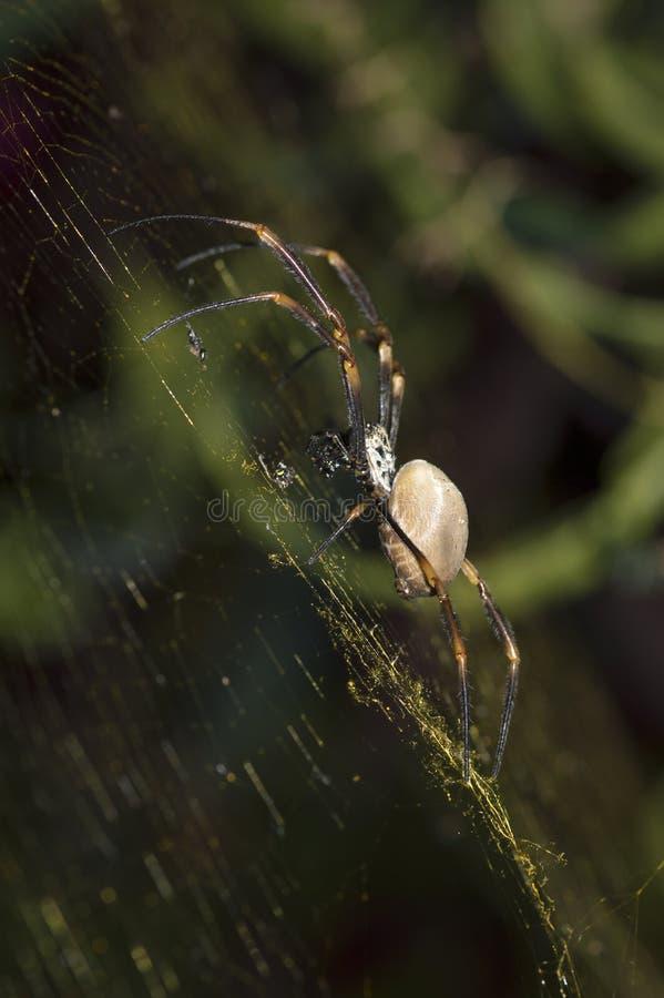 Araignée australienne d'araignée de jardin sur le Web, macro en gros plan photo libre de droits