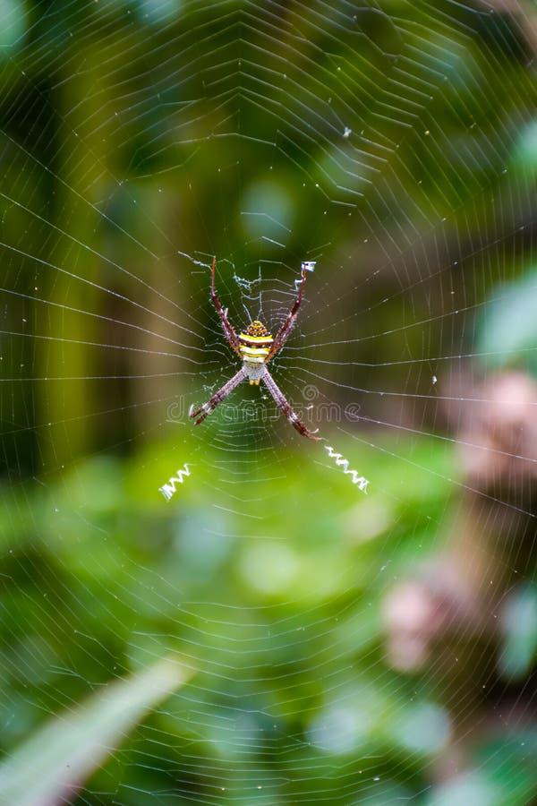 Araignée avec de longues jambes sur le Web dans un jardin photos libres de droits