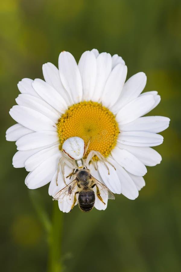 Araignée avec l'abeille de proie sur la camomille images stock