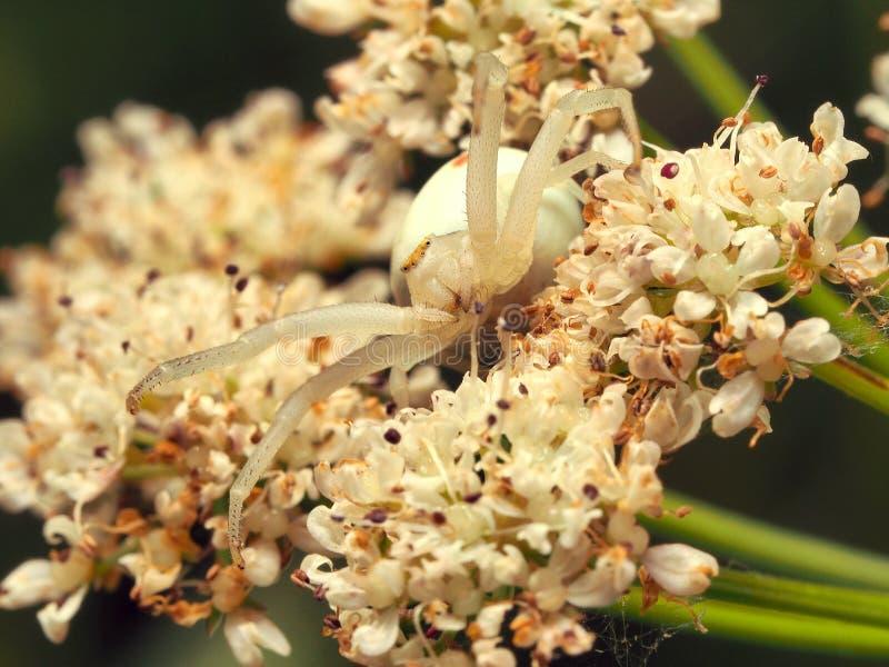 Araignée blanche images libres de droits