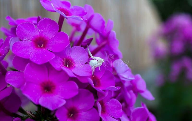 Araignée blanche de crabe image libre de droits