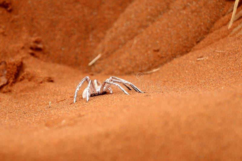Araignée blanche de danse de dame - Namibie Afrique photographie stock libre de droits