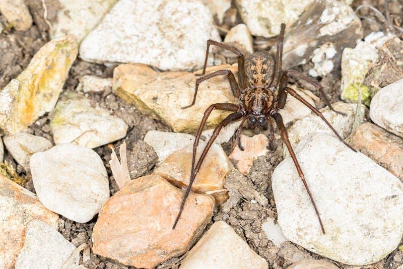 Araignée britannique de Chambre (duellica de Tegenaria) image stock