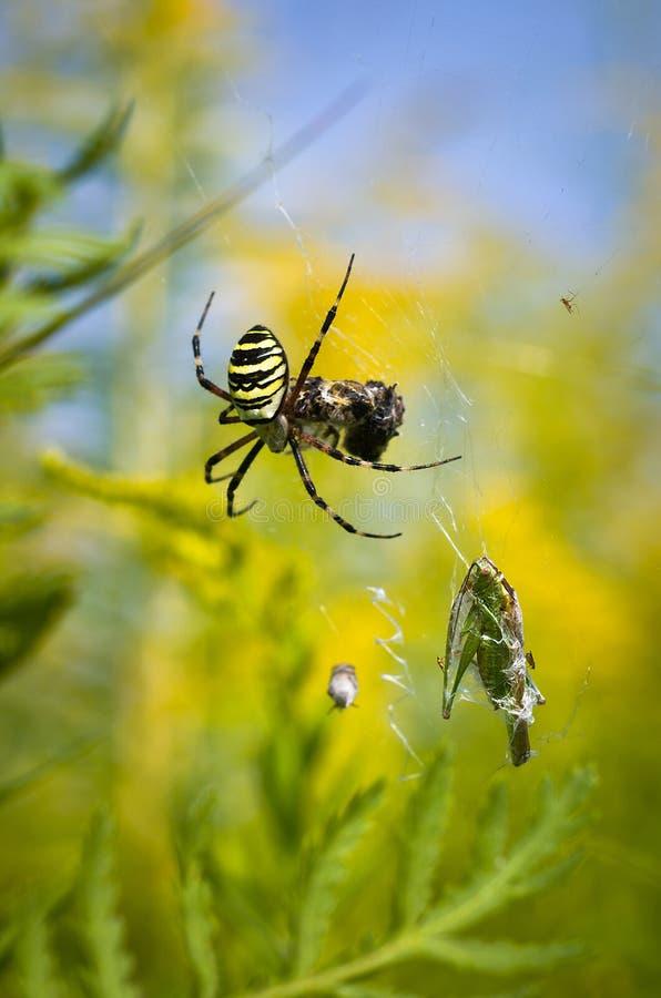 Araignée - bruennichi d'Argiope photographie stock