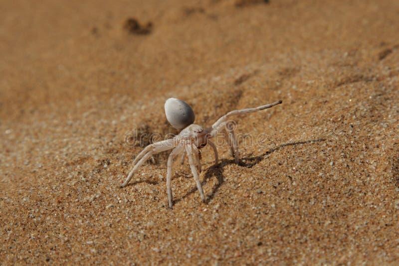 araignée d'or cartwheeling photos stock