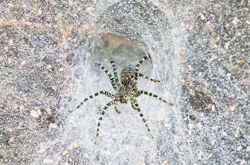 Araignée d'entonnoir dans le Web images stock