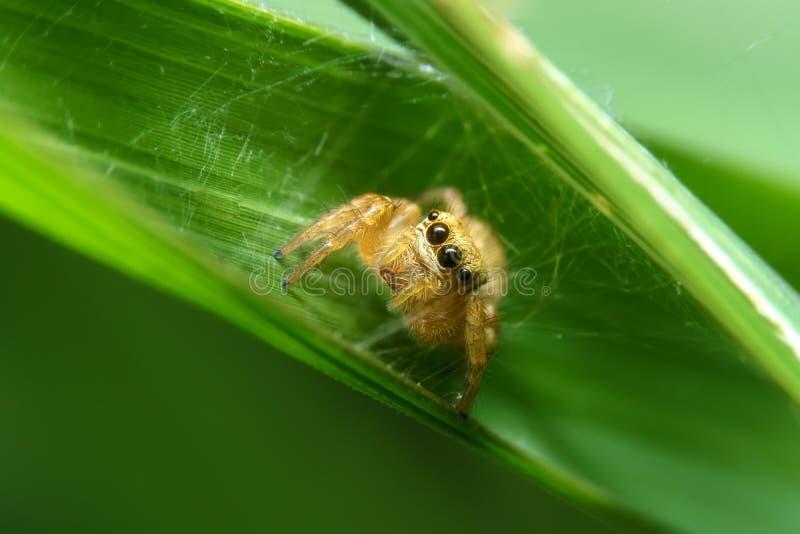 Araignée dans la feuille verte photographie stock libre de droits