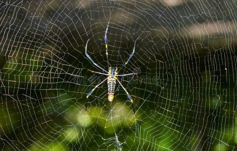 Araignée dans le réseau images stock
