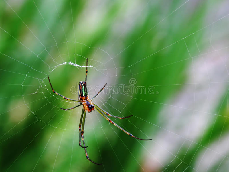 Araignée dans le Web image stock