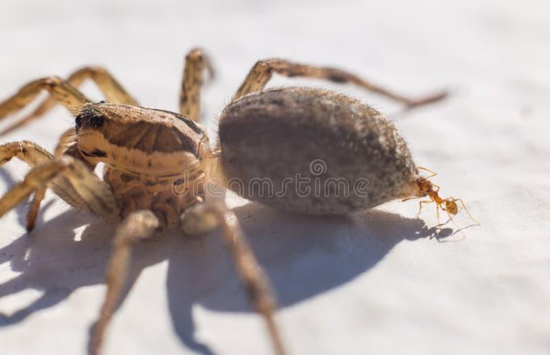 Araignée de attaque de fourmi images libres de droits