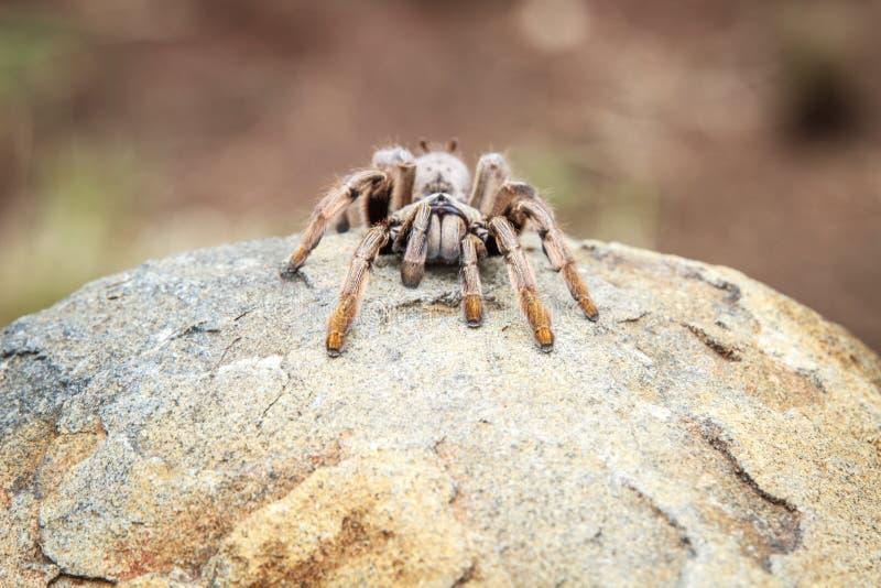 Araignée de babouin sur une roche photo stock