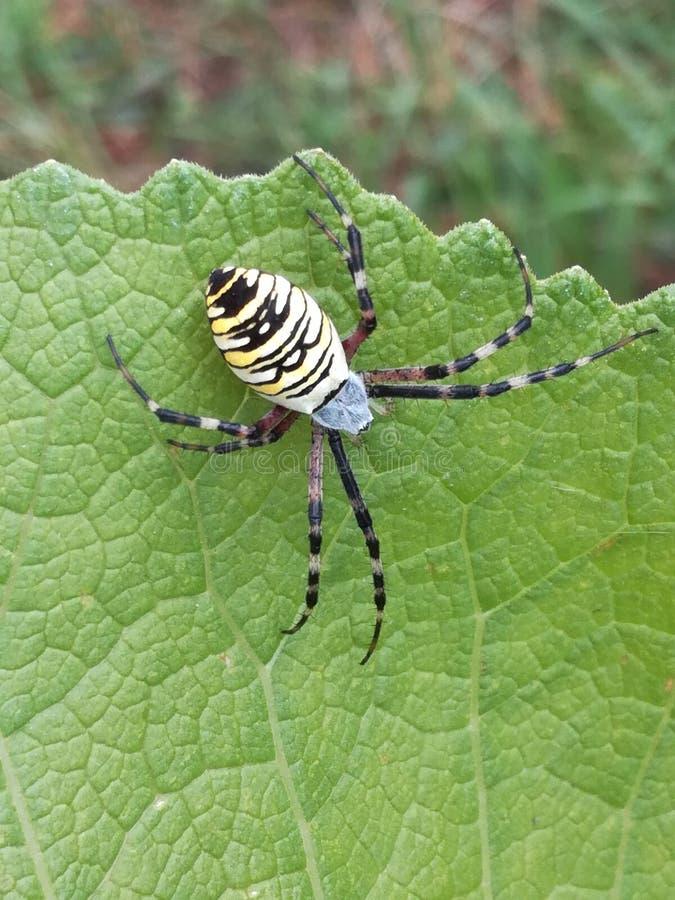 Araignée de bruennichi d'Argiope de guêpe d'araignée un cercle photographie stock libre de droits