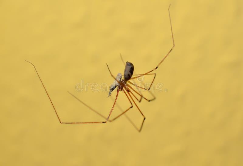 Araignée de cave avec la proie photo libre de droits