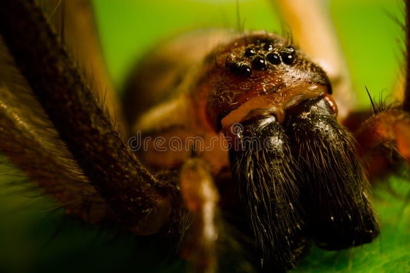 Araignée de Chambre - macro (2) images stock
