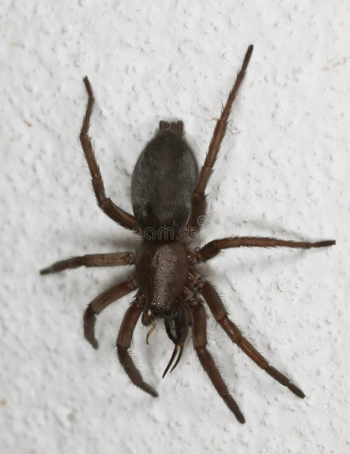 Araignée de chasse mangeant la forficule. images stock