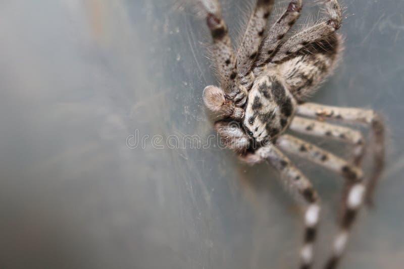 Araignée de chasseur photos libres de droits