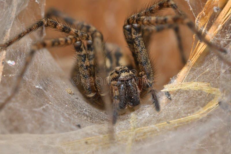 Araignée de chasseur menaçant et observant du nid de Web photo libre de droits