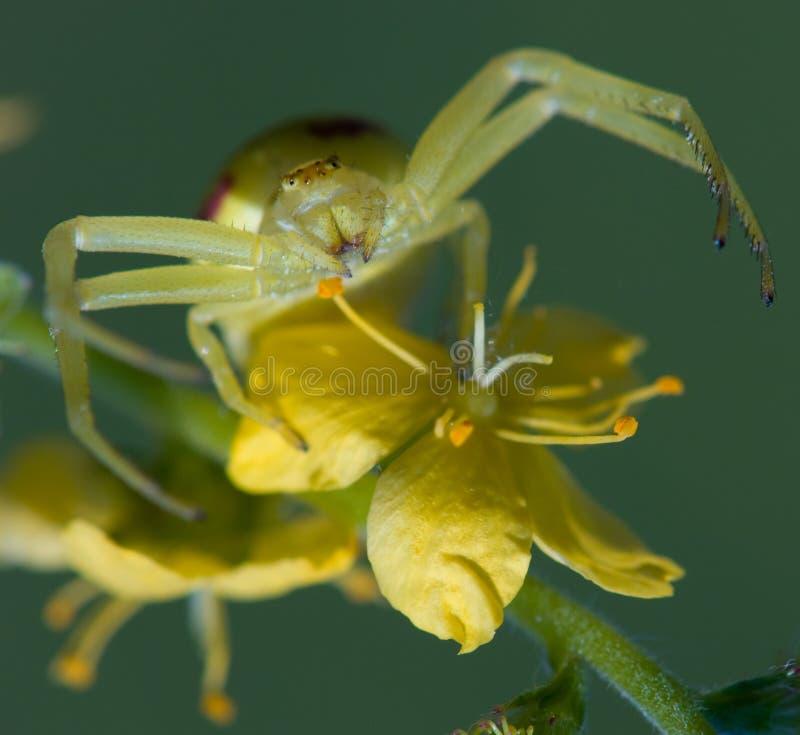 Araignée de crabe photo stock