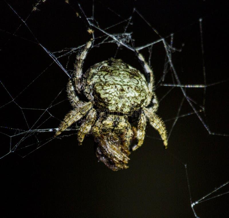 Araignée de crabe avec la proie photographie stock libre de droits