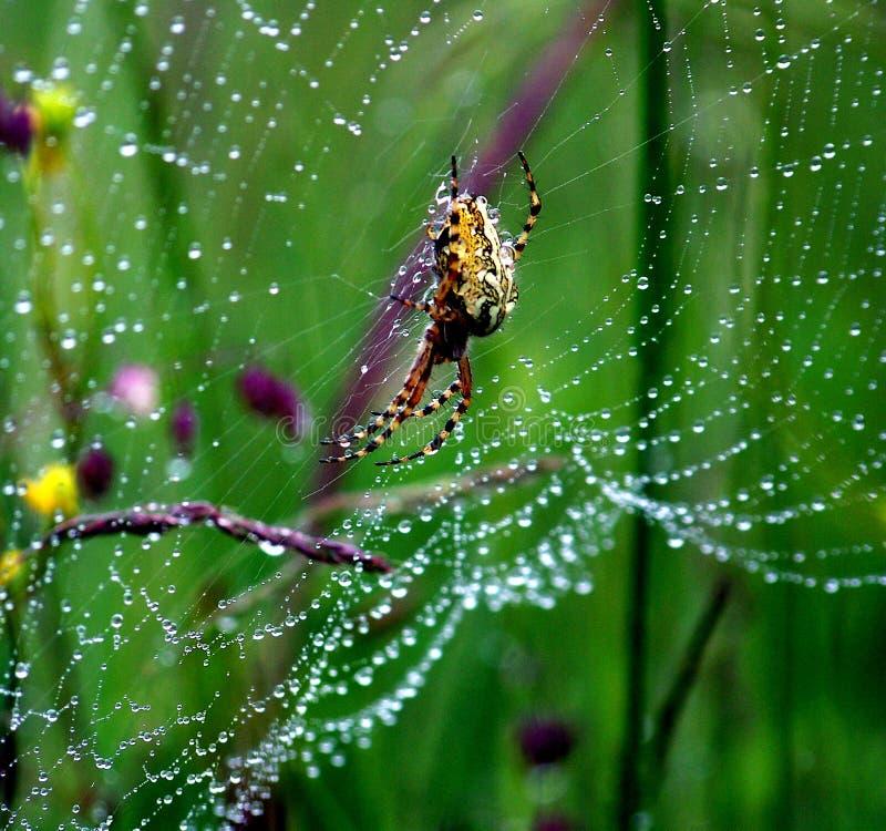 Araignée de croisé dans la toile d'araignée couverte de rosée photos stock