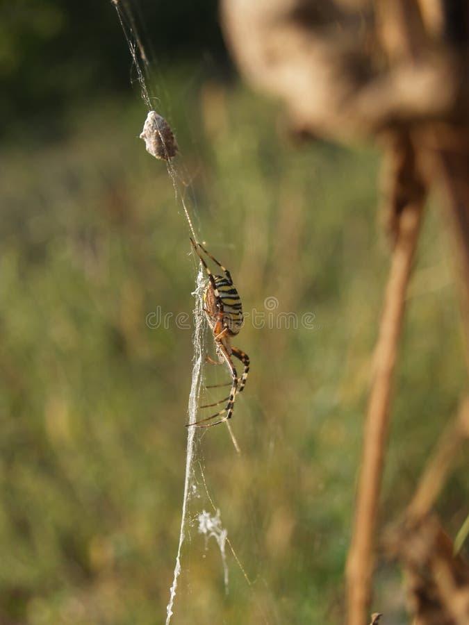Araignée de dame de bruennichi d'Argiope images libres de droits