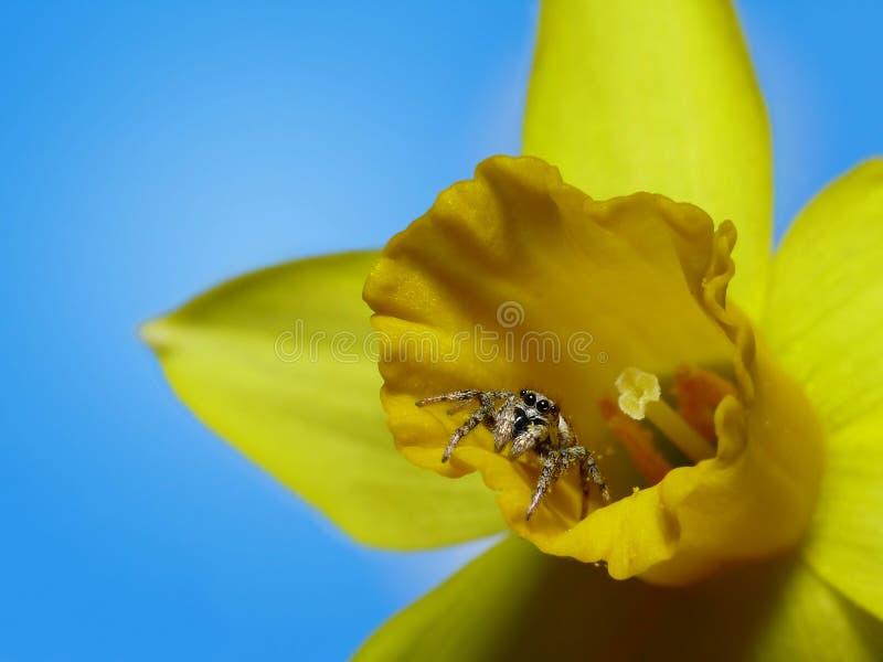 Araignée de fleur image libre de droits