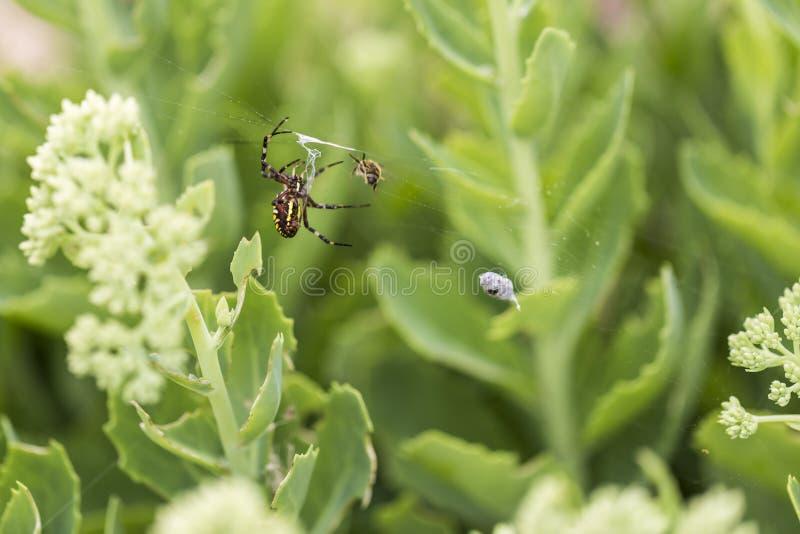 Araignée de guêpe avec la proie image libre de droits
