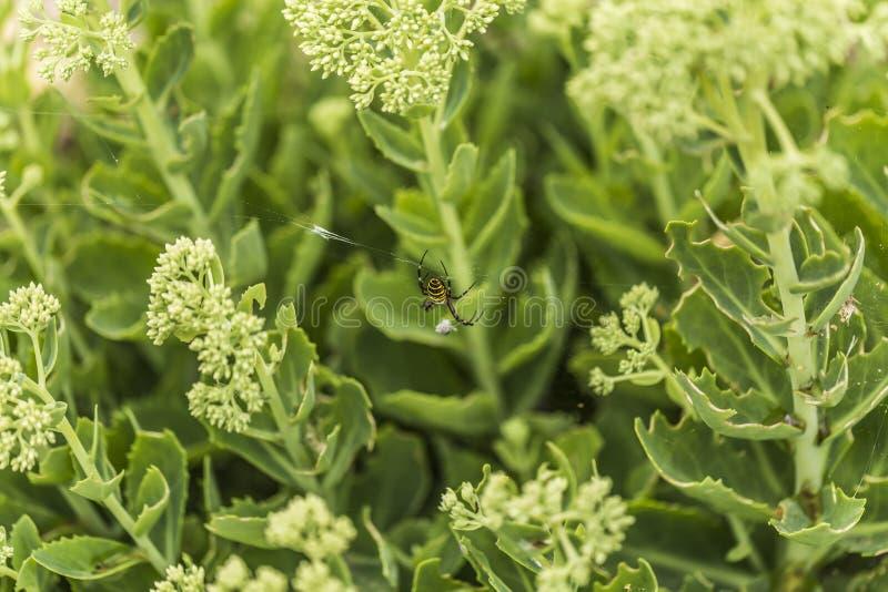 Araignée de guêpe avec la proie photos libres de droits