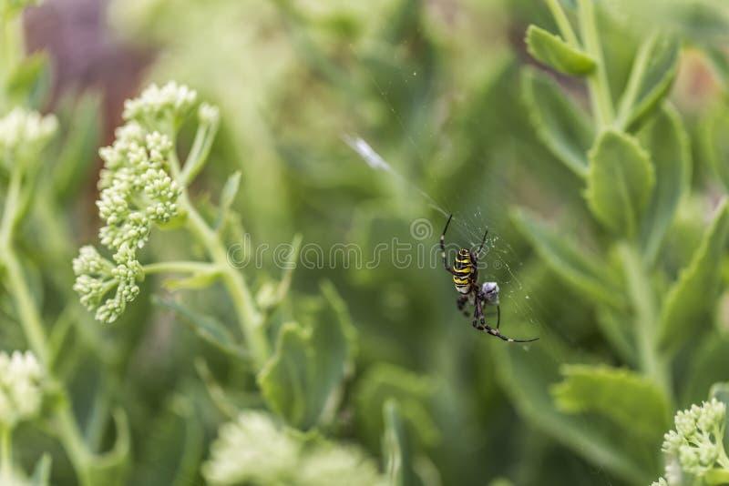 Araignée de guêpe avec la proie photo stock