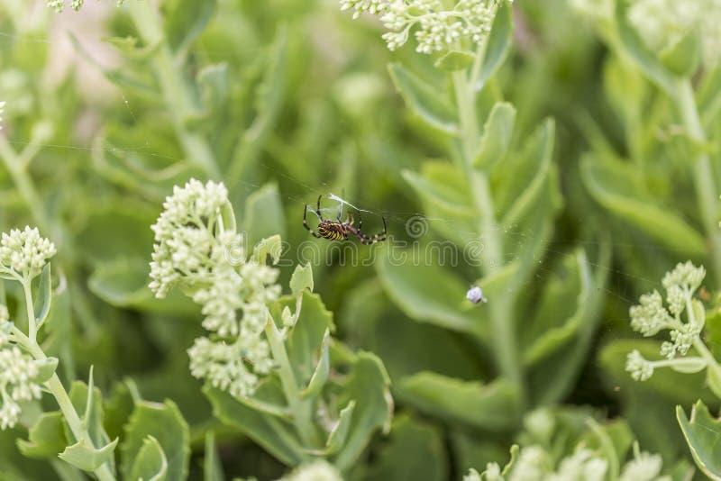 Araignée de guêpe avec la proie photo libre de droits