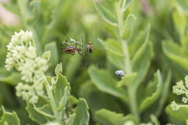 Araignée de guêpe avec la proie photographie stock libre de droits