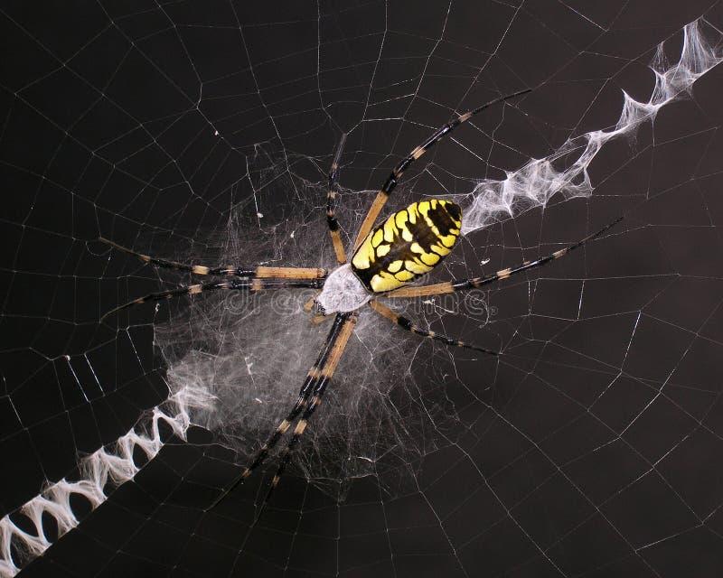 Araignée de jardin images libres de droits