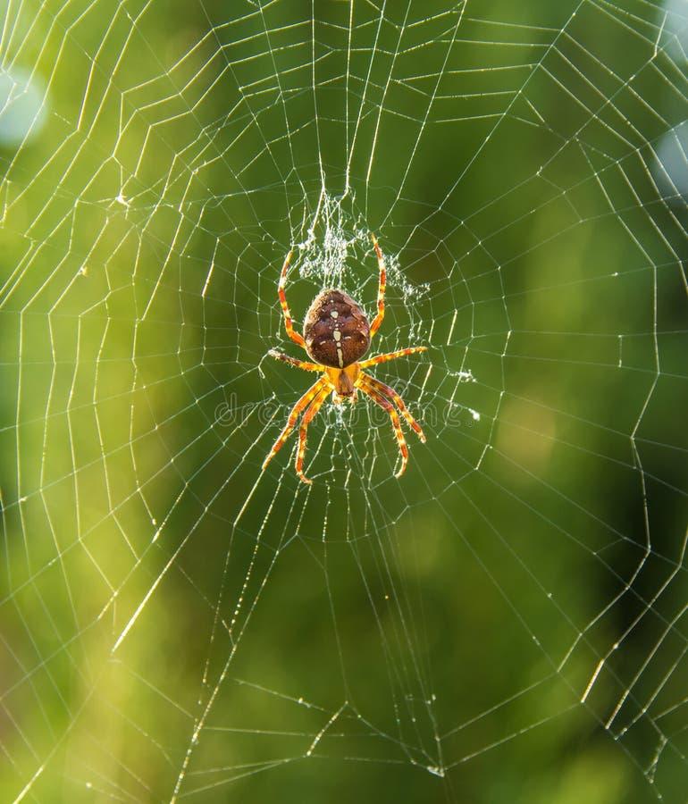 Araignée de jardin européenne, diadematus d'Araneus en Web à l'heure d'or images libres de droits