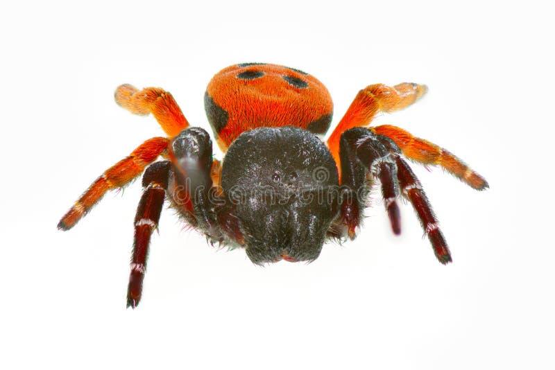 Araignée de Ladybird (cinnaberinus d'eresus) photo libre de droits