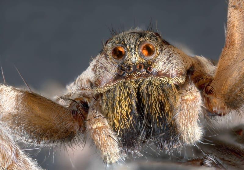 Araignée de loup photo stock